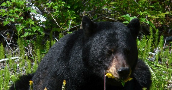 """Pewna kobieta została zaatakowana przez niedźwiedzia w chwili, gdy korzystała z toalety nad jeziorem Chilkat na Alasce. """"Podskoczyłam z krzykiem"""" – opowiada o swojej przygodzie, która mogła skończyć się tragicznie. Zwierzę zdołało zranić ją w… pupę."""