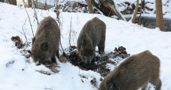 W jednej z dzielnic Budapesztu plagą stały się schodzące ze wzgórz do przydomowych ogródków dziki. Nie mogąc używać przeciwko nim na terenie zabudowanym broni palnej, władze zdecydowały, że będą je odstrzeliwać… z łuku.