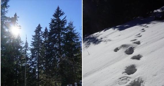 Z zimowego snu budzą się niedźwiedzie. Ich tropy widziano pod Babią Górą i w Bieszczadach. W Tatrach jeszcze nie, ale może to nastąpić lada dzień. Wszystko dlatego, bo wysoko w górach notowana jest rekordowo wysoka, jak na tę porę roku, temperatura.