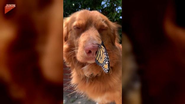 Trzeba przyznać, że ten pies ma w sobie duże pokłady cierpliwości i spokoju. Zobaczcie, jak zareagował, gdy na jego nosie przysiadł motyl. Z uwagą przypatrywał się skrzydlatemu przyjacielowi i wcale nie wyglądał na zniecierpliwionego. Urocze
