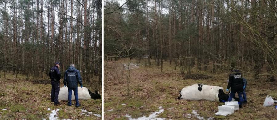 Tragedia w gminie Strzegowo (woj. mazowieckie). Agresywny byk prawdopodobnie zabił tam właściciela.