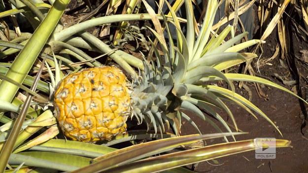 """Rafał i Agnieszka mieszkają od dawna na Hawajach. Wśród miejsc, które polecają jest takie, gdzie można skosztować lokalnej kawy. Przemierzając w kierunku następnej atrakcji można podziwiać drzewa eukaliptusa. Polska para zaprasza też wszystkich do skosztowania lodów z ananasów. Owoce pochodzą z lokalnej plantacji. """"Polacy za granicą"""": Hawaje to królestwo kawy i ananasów Fragment programu """"Polacy za granicą"""", emitowanego na antenie Polsat Play."""
