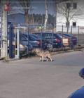 Wilk przechadzał się po parkingu pod Poznaniem. Przyjechała policja