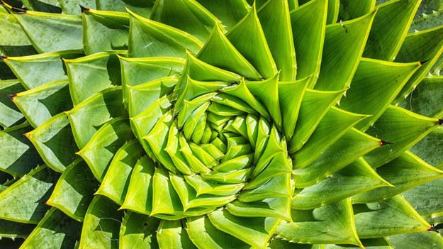 Nie dość, że będzie egzotyczną, pięknie wyglądającą ozdobą każdego mieszkania, to sprawdzi się także w domowej apteczce. Aloes, oprócz funkcji dekoracyjnych, pełni bardzo ważną rolę w pielęgnacji organizmu. Jakie właściwości ma jego żelowa wydzielina?