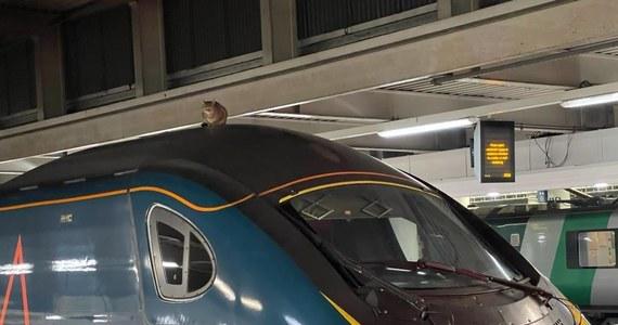 """Niewiele brakowało, a kot wyruszyłby w podróż z Londynu do Manchesteru na dachu pociągu jadącego z prędkością 200 kilometrów na godzinę. Zwierzę pozostawało na dachu przez dwie i pół godziny, a pasażerów trzeba było przenieść do innego składu - poinformował w czwartek """"The Guardian""""."""