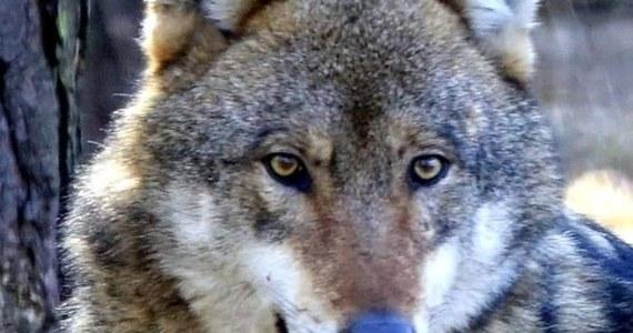 Do poznańskiego zoo trafił wilk, który w poniedziałek został schwytany w okolicach podpoznańskich Komornik i autostrady A2. Próby jego odłowienia trwały od wielu dni. Zwierzę było widywane w Poznaniu i w okolicach miasta.