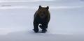 Niedźwiedź ruszył w pogoń za narciarzem. Mężczyzna chciał ratować innych