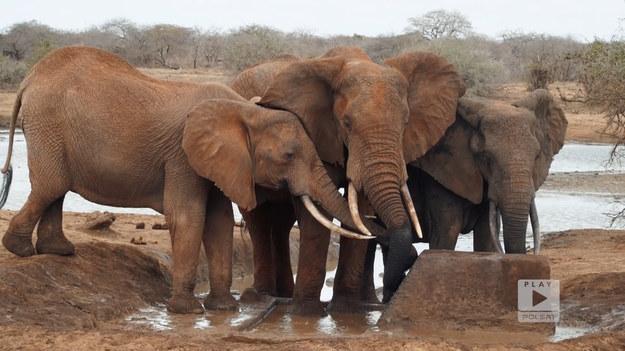 """Wjazd do miasta Mombasa ma nietypową """"bramę"""". Stanowią ją ciosy zbudowane na przyjazd królowej brytyjskiej. Oprócz zwiedzania okolic oceanu oraz największego portu Kenii, warto wybrać się też na safari, gdzie można z bliska obserwować dzikie zwierzęta. """"Polacy za granicą"""", emitowanego na antenie Polsat Play."""