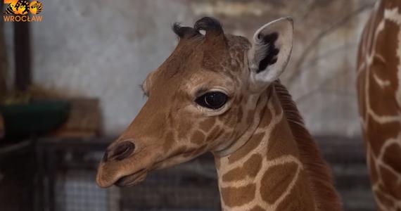 Inuki - takie imię nosi żyrafa siatkowana, o której niedawnych narodzinach poinformował wrocławski ogród zoologiczny. Co ważne, żyrafa siatkowana to gatunek zagrożony wymarciem.