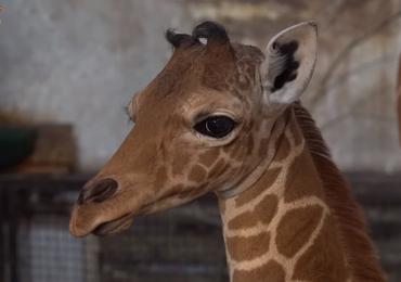 Wrocławskie zoo ma nową mieszkankę. To żyrafa siatkowana Inuki