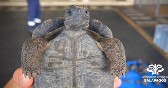 Służby celne udaremniły przemyt małych żółwi na Galapagos. 185 sztuk było upchanych w walizce, którą ktoś nadał na wyspie. Miały trafić na stały ląd, do Ekwadoru.