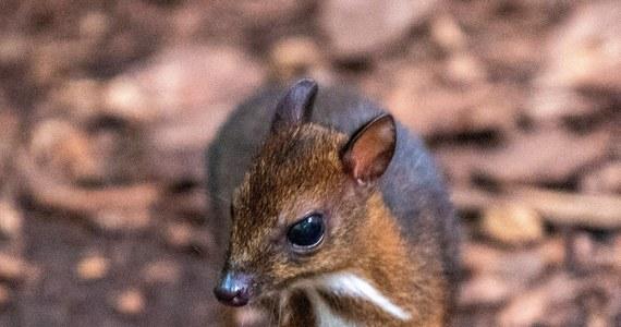 Łódzkie zoo może pochwalic się młodą samica myszojelenia. Zwierzątko przyszło na świat w lutym, ale dopiero teraz udało sie ustalić jego płeć. To malutki ssak. Dorosły osobnik waży maksymalnie 2 kg.