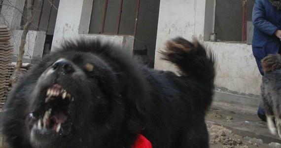 Dwa psy rasy mastif tybetański śmiertelnie pogryzły 65-letniego mężczyznę. Do zdarzenia doszło na terenie gminy Rzgów w Wielkopolsce.