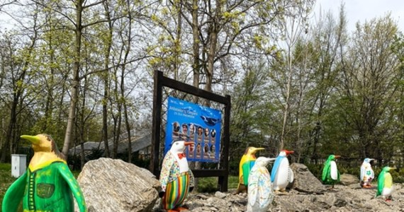Jak wygląda pingwin malowany ręką Piotra Gąsowskiego, Roberta Makłowicza czy Filipa Chajzera? We wrocławskim zoo od dziś można podziwiać Pingwinią Aleję Gwiazd, czyli ekspozycję figur malowanych przez znanych Polaków. Jak podkreślają pracownicy zoo - to nie tylko dodatkowa atrakcja na terenie ogrodu, ale też doskonała podpowiedź dla tych, którzy jeszcze nie wiedzą, na co przeznaczyć 1 proc. z podatku podczas rozliczania się z fiskusem.