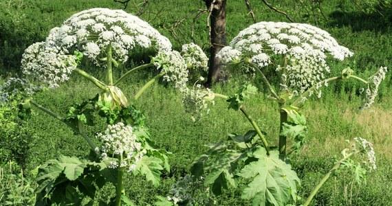Polski rząd stworzy listę gatunków inwazyjnych, które zagrażają rodzimej florze i faunie - poinformowała PAP wiceminister klimatu i środowiska Małgorzata Golińska.