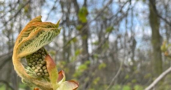 W tym roku natura spłatała figla maturzystom. Zabraknie ważnego symbolu - nie kwitną kasztanowce! W porównaniu do ubiegłego roku, przyroda opóźnia się o 2 tygodnie. Jak wytłumaczyć to zjawisko?