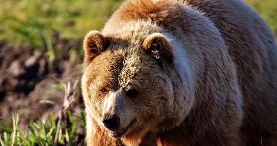 Dwie organizacje ochrony praw zwierząt oskarżają księcia Lichtensteinu o zastrzelenie największego z żyjących w Rumunii niedźwiedzia. Drapieżnik miał 17 lat i na imię Artur. Za zezwolenie na polowanie na drapieżnika książę miał zapłacić ok. 7 tysięcy euro.