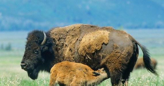 """45 tys. osób zgłosiło się do odstrzelenia 12 bizonów w Parku Narodowym Wielkiego Kanionu. Urzędnicy Służby Parków Narodowych chcą zmniejszyć liczebność stada, które według nich uszkodziło roślinność, stanowiska archeologiczne i wodopoje - podał """"The New York Times""""."""