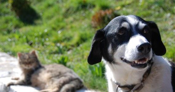 Czy psy i koty również chorują na Covid-19? Według naukowców z Instytutu Chorób Zakaźnych w Rio de Janeiro u 31 proc. domowych psów i 40 proc. kotów naukowcy wykryli SARS-CoV-2 po diagnozie ich właścicieli. Testy wykazały obecność wirusa po czasie od 11 do 51 dni po ujawnieniu się objawów u ich właścicieli. Czy jest się czego bać?