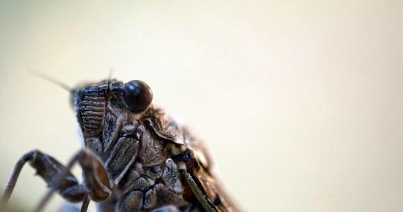 Miliardy cykad Brood X, które żyły pod ziemią przez ostatnie 17 lat, w najbliższym czasie wyjdą na powierzchnię. Naukowcy zapowiadają, że roje owadów pojawią się głównie na wschodnim wybrzeżu Stanów Zjednoczonych. W mediach społecznościowych internauci już zaczęli publikować pierwsze zdjęcia i nagrania, które pokazują, jak zwierzęta wydostają się na powierzchnię.
