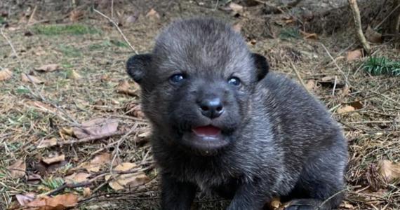 Turyści znaleźli na szlaku w Beskidach szczenię wilka, które zabrali. Ostatecznie trafiło do bielskiego ośrodka rehabilitacji dzikich zwierząt i wkrótce wróci do watahy.