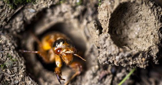 Stany Zjednoczone przeżywają inwazję cykad Brood X. Miliardy owadów wychodzą na powierzchnię po 17 latach spędzonych pod ziemią. W mediach społecznościowych pojawiły się zdjęcia i nagrania, które pokazują to wyjątkowe zjawisko. Zobaczcie!