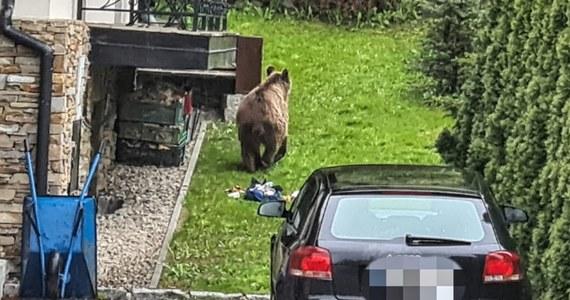 Rano mieszkańcy osiedla Tatary w Zakopanem zawiadomili policję, że na ich osiedlu pojawił się niedźwiedź, który wyjada resztki ze śmietników. Widziany był na parkingu przed szpitalem, a następnie przemaszerował ulicami Kamieniec i Tatary, a potem poszedł w kierunku Gubałówki.