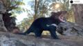 Australia: Diabły tasmańskie rozmnożyły się pierwszy raz od 3000 lat