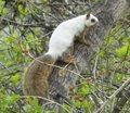 Niezwykle rzadka zmutowana wiewiórka. Wygląd szokuje