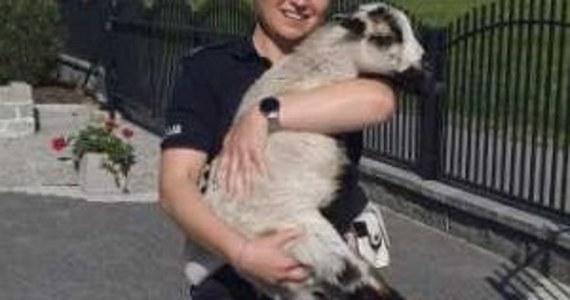 Policjanci z Przeworska na Podkarpaciu pomogli przestraszonej owieczce, która biegała po jednej z ulic tego miasta. Zwierzę przekazano straży miejskiej i czeka teraz na zgłoszenie się właściciela.