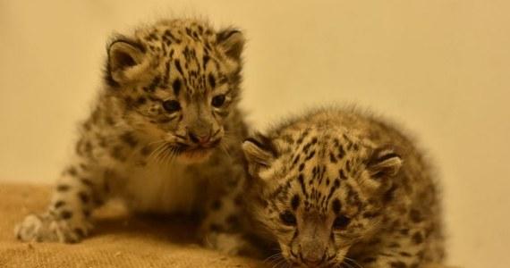 W płockim ogrodzie zoologicznym urodziły się dwie pantery śnieżne. Jak ogłosiła w piątek placówka, bliźniacze kocięta, które przyszły tam na świat, to samce. Pantery śnieżne objęte są Europejskim Programem Hodowli Gatunków Zagrożonych Wyginięciem.