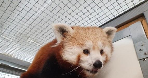 Warszawskie zoo ma nową mieszkankę. To samiczka pandki rudej. Zwierzę ma rok i nazywa się Nanu. Ogród zoologiczny poinformował o tym na Facebooku.