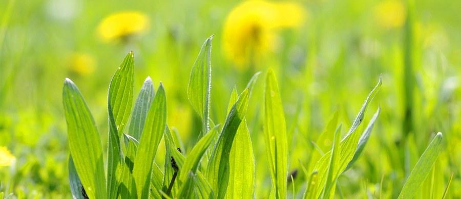 """W naszym wakacyjnym cyklu pod hasłem """"Zielnik Polski"""" namawiamy do zbierania ziół, które możemy zasuszyć i wykorzystać jesienią, i w zimie. Jakie zatem zioła zbierać można w lipcu? Wśród najpopularniejszych jest babka lancetowata. Ma ona dość charakterystyczny wygląd, liście mają podłużny, lancetowaty kształt."""