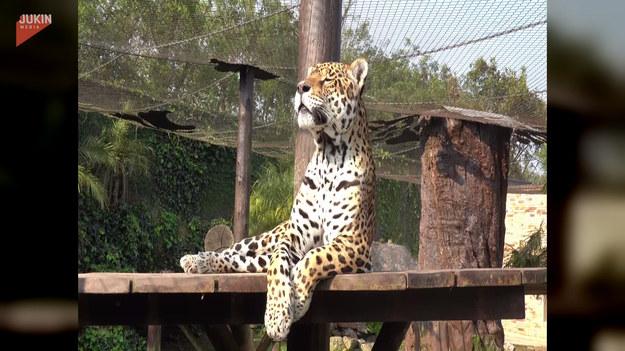 Spacery i kąpiele słoneczne to to, co prawdziwe tygrysy lubią najbardziej! Zaraz, zaraz... czy dotyczy to również jaguarów? Powyższe wideo udowadnia, że tak.