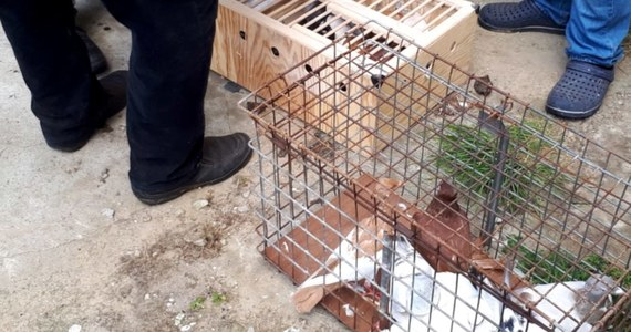 Policjanci na Mazowszu zatrzymali 26-latka, który skradł 159 sztuk gołębi. Wylicza się, że hodowca poniósł straty w wysokości 9 tys. zł. Udało się jednak odzyskać część gołębi.