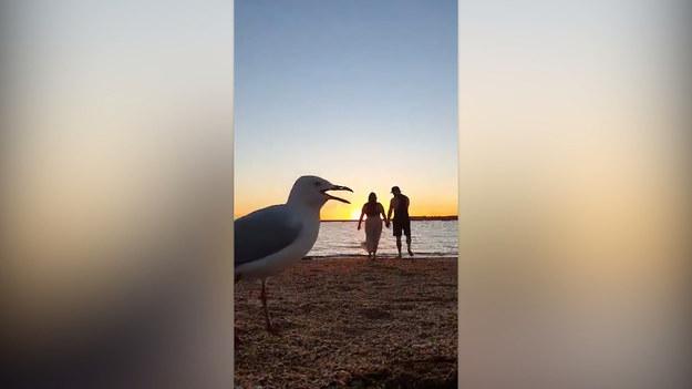 Miało być romantyczne wideo, wyszedł film przyrodniczy. Zobaczcie, jak dwie mewy popsuły pewnej parze pamiątkę z plaży.
