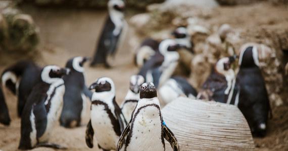 """63 sztuk pingwinów południowoafrykańskich zginęło od użądleń pszczół. Ślady ukłuć widoczne były wokół oczu ptaków. """"To niesłychanie rzadkie zdarzenie"""" – twierdzi weterynarz David Roberts."""