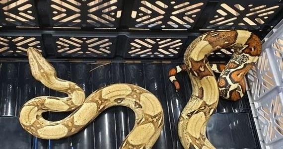 Podczas spaceru w lesie na terenie powiatu górowskiego mężczyzna znalazł boa dusiciela. Wąż został odłowiony i oddany pod opiekę emerytowanego policjanta, który prowadzi od lat sklep zoologiczny.