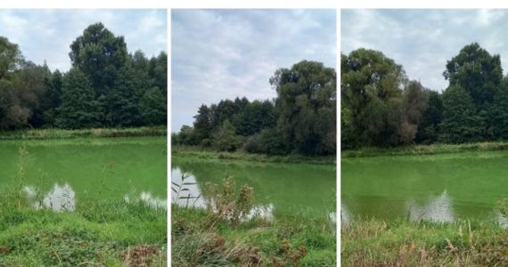 Rzeka Prosna przepływająca przez wielkopolski Kalisz ma od wczoraj intensywnie zielony kolor. Nie jest to celowe zabarwienie, znane np. z Irlandii i obchodzonego tam Dnia Świętego Patryka. Za przebarwienie odpowiadają naturalne procesy, szkodliwe dla wodnej fauny i flory.