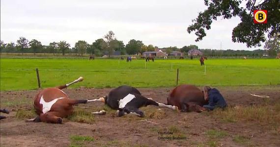 Siedem koni zginęło we wtorek w czasie burzy – podał portal BN DeStem. Do sytuacji doszło w holenderskiej miejscowości Maarheze.