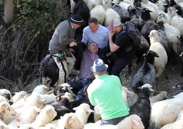 Jesienny redyk. Spłoszone stado owiec stratowało górala