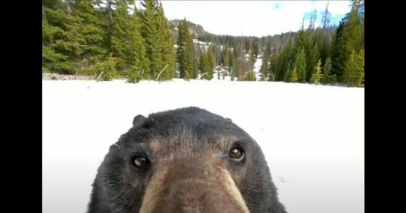 Niedźwiedź znalazł w śniegu kamerę GoPro, włączył ją i się nagrał. Dziś film ten jest hitem internetu.