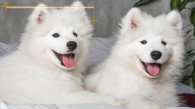 """Nie każdy miłośnik psów i kotów może myśleć o posiadaniu wymarzonego pupila. Niektóre osoby nie mogą sobie na to pozwolić ze względu na alergię. Jeśli jesteś w tej grupie, przychodzimy z pomocą, przedstawiając rasy psów dla alergików. Na początku warto jednak zaznaczyć, że to nie sama sierść psów jest alergenem. Uczulenie powodują: martwy naskórek, wydzielina gruczołów potowych i łojowych oraz ślina zwierząt. Sierść składa się z włosa okrywowego oraz z podszerstka. Na nim osadzają się właśnie alergeny. Znajdziemy jednak wyjątkowe rasy, które nie posiadają podszerstka. Nazywa się je """"psy z włosami"""". Są odpowiednie dla alergików."""