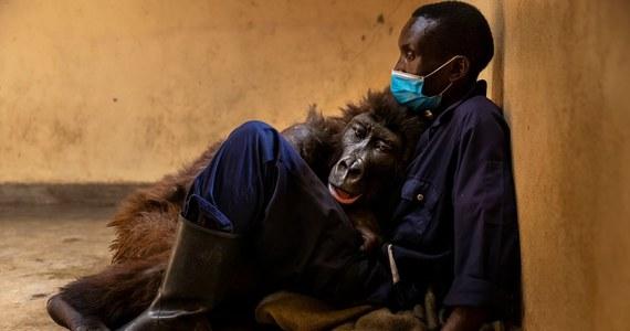 Sławna gorylica Ndakasi zmarła w wieku 14 lat – przekazał Park Narodowy Wirunga w Kongo. Organizacja opublikowała poruszające zdjęcie, na którym widać zwierzę umierające na rękach swojego opiekuna.