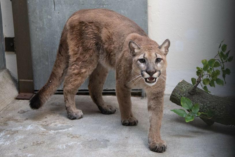 11-miesięczna puma Sasha /JULIE LARSEN MAHER/AFP/East News/Bronx Zoo /East News