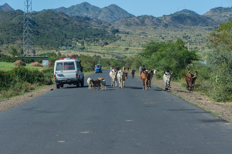 12 osób zginęło w wypadku, gdy kierowca autobusu próbował wyminąć krowę, zdj. ilustracyjne /123RF/PICSEL