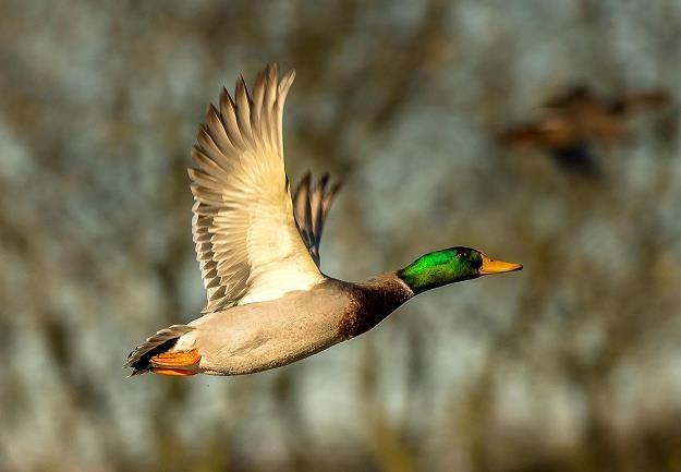 14. ognisko ptasiej grypy u dzikiego ptactwa w Polsce /AFP