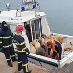 14 tysiącom owiec na ratunek. Nietypowa akcja na Morzu Czarnym