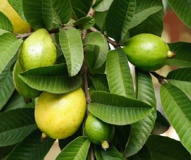 15 korzyści zdrowotnych liści guawy, o których powinieneś wiedzieć