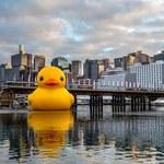 15-metrowa kaczka nawiedziła Sydney